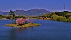 晩春の日野川ダム 小島桜 9