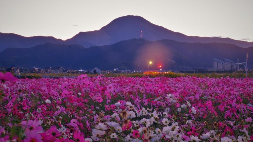 コスモス畑の朝景 2