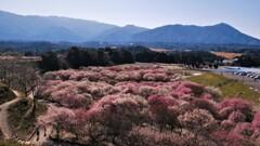 春薫いなべ梅林 1