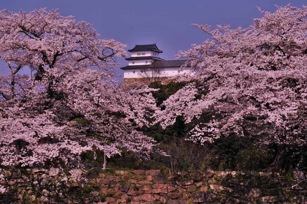 彦根城中壕桜 3