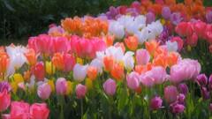さいたさいたチューリップの花