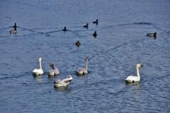 琵琶湖に冬の使者コハクチョウ 4-2