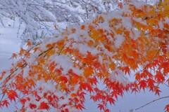 雪紅葉 3