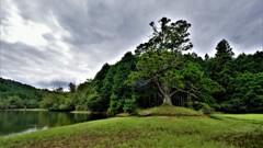 岩尾池の杉 1
