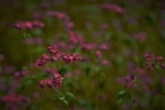 赤そばの花 5-4
