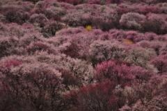 春薫いなべ梅林 2
