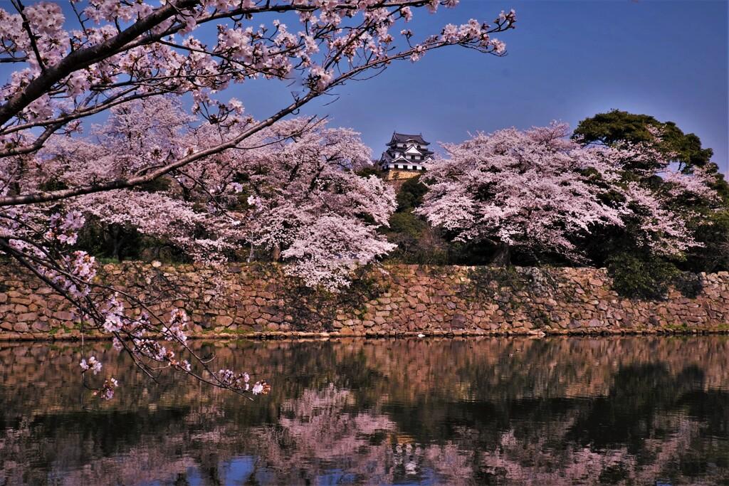 彦根城中壕桜 2