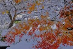 雪紅葉 4
