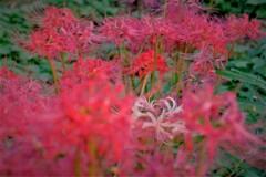 赤の中の白花
