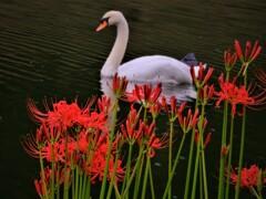白鳥と曼珠沙華 3