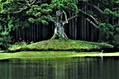 岩尾池の杉(一本杉)