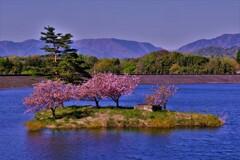 晩春の日野川ダム 小島桜 8