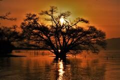 夕日の水中木