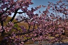 湖国早咲き桜