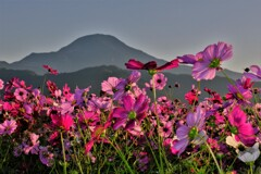 秋桜と伊吹山
