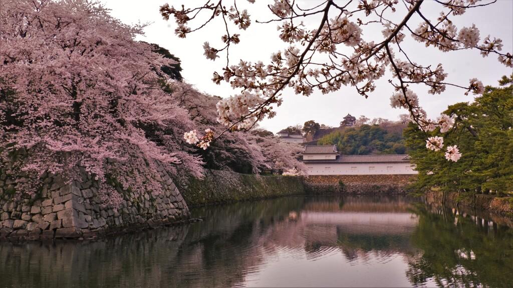 濠端桜 1