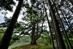 杉林の千年一本杉 3