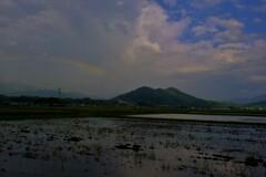 晩春の水田虹