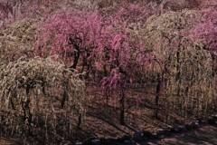 春薫いなべ梅林 4