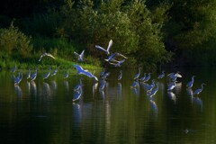 水辺のシラサギ 3-1