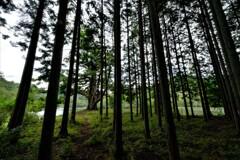 杉林の千年一本杉 1