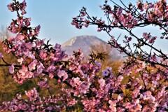 河津桜と伊吹山