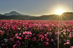 コスモス畑の朝日