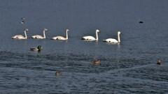 琵琶湖に冬の使者コハクチョウ 4-4