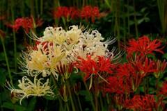 中秋の紅白花
