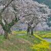 余呉川の春響 3