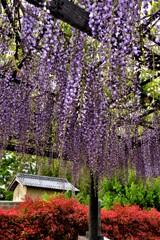在士紫藤樹 2