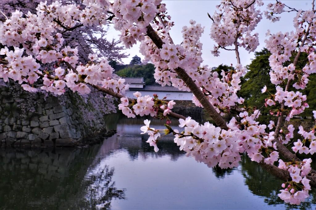 濠端桜 2