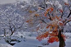 雪紅葉 1