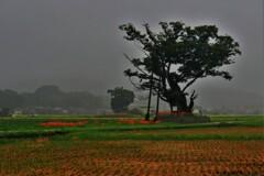 秋雨飯盛木 1