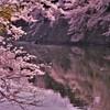 濠端桜 5