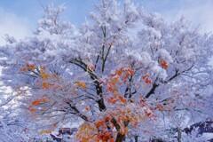 雪紅葉 5