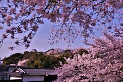 彦根城春散歩 本丸遠景 13