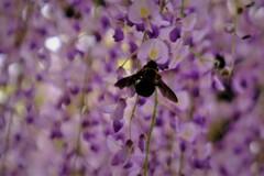 在士八幡神社紫藤樹 7