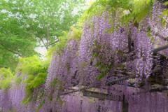在士八幡神社紫藤樹 8