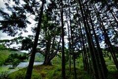 杉林の千年一本杉 2