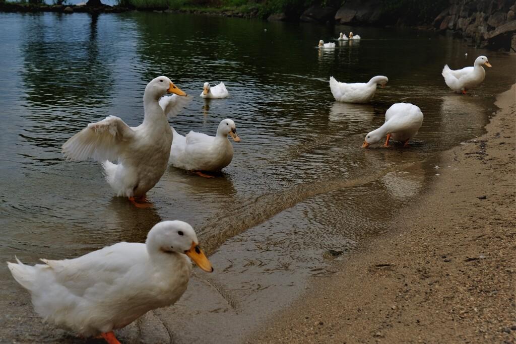 琵琶湖のアヒル 2