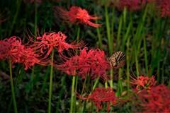 彼岸花に纏う蝶