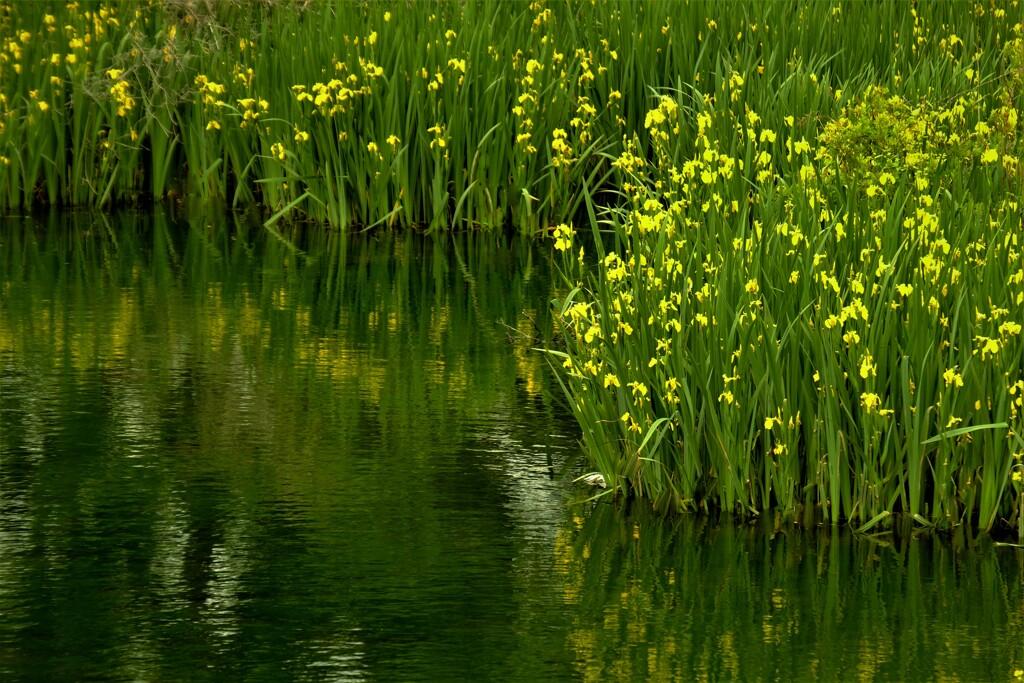 ため池の黄菖蒲