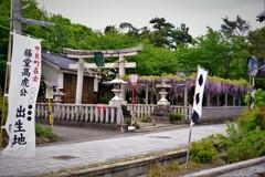 在士八幡神社紫藤樹 1