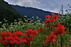山間のそばの花に曼珠沙華