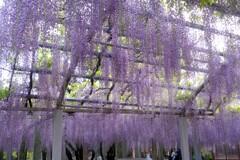 三大神社の老藤 9