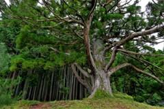 岩尾池の杉 3