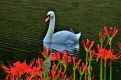 白鳥と曼珠沙華 1