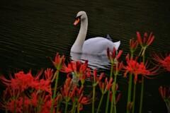 白鳥と曼珠沙華 2