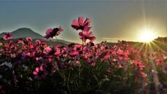 目覚めの秋桜